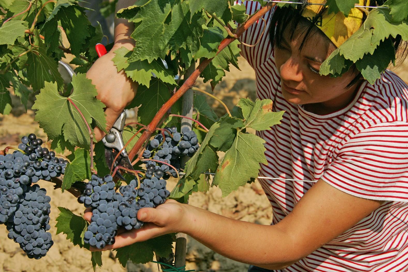 """Vendemmia, Coldiretti: """"Siena, cresce qualità e quantità ma mancano i giovani per la raccolta"""""""