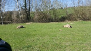 pecore gregge