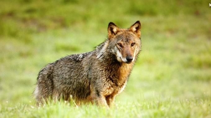 Assalto dei lupi, strage di pecore in tre aziende a Radicofani