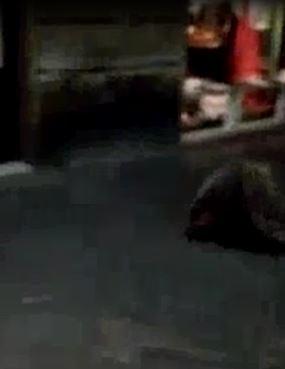 Un istrice (vero) a corsa per via Camollia – IL VIDEO