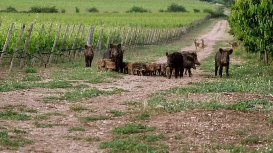 """Danni ungulati, ATC Siena Sud senza risorse, gli agricoltori non risarciti. Cia: """"Situazione insostenibile"""""""