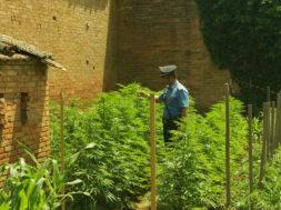 orto marijuana