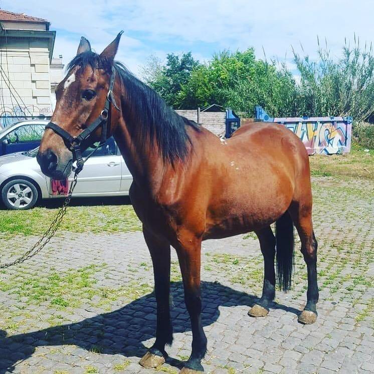 """Il Comune di Siena adotta il cavallo """"Botticello"""""""