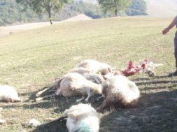 pecore Asciano 1 (1)