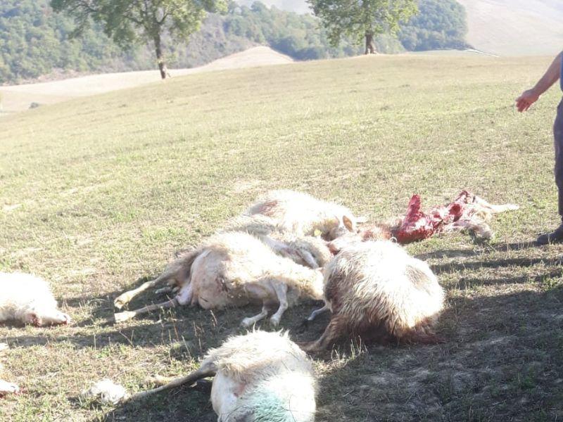 Attacco dei lupi ad Asciano, uccisi 20 tra agnelli e pecore