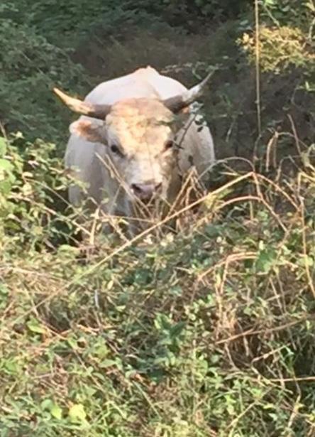 Tori e mucche allo stato brado seminano il panico: cittadini impauriti