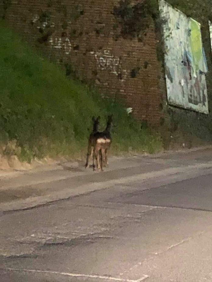 La natura si riprende la scena: due caprioli a passeggio in via Don Minzoni