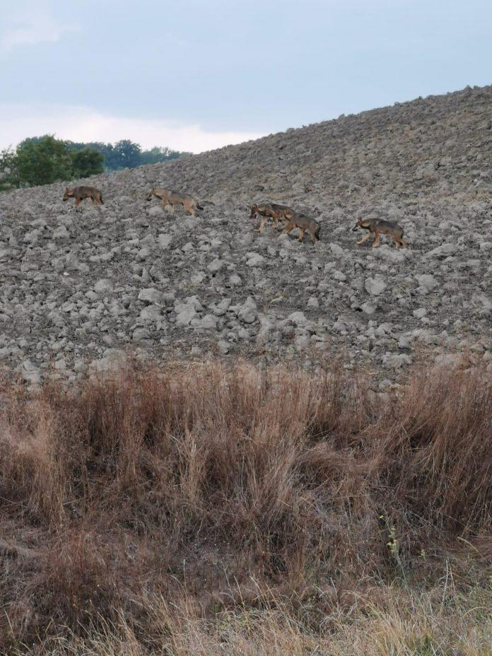 Asciano, branco di lupi a passeggio per le Crete Senesi – VIDEO