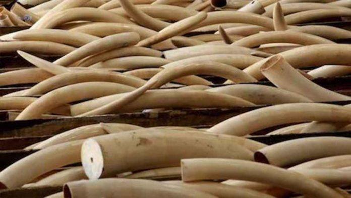 """Operazione """"Golden Tusks"""": 32 denunciati nel commercio dell'avorio"""