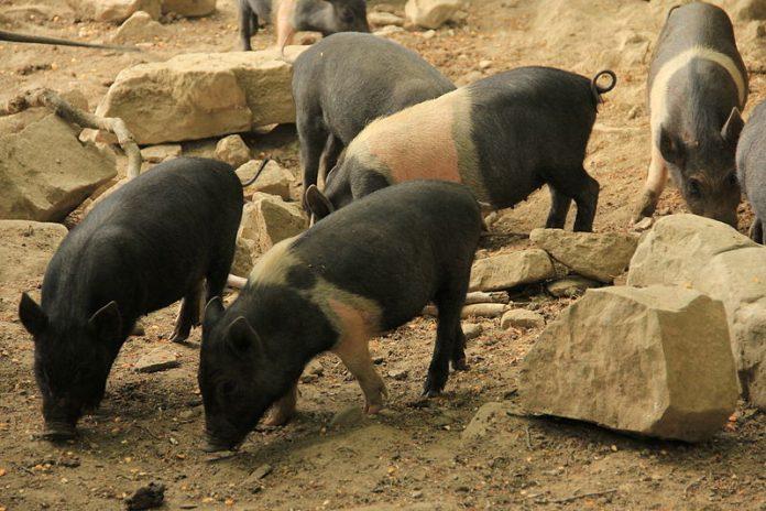 Crete senesi: rubati quindici maiali di cinta senese
