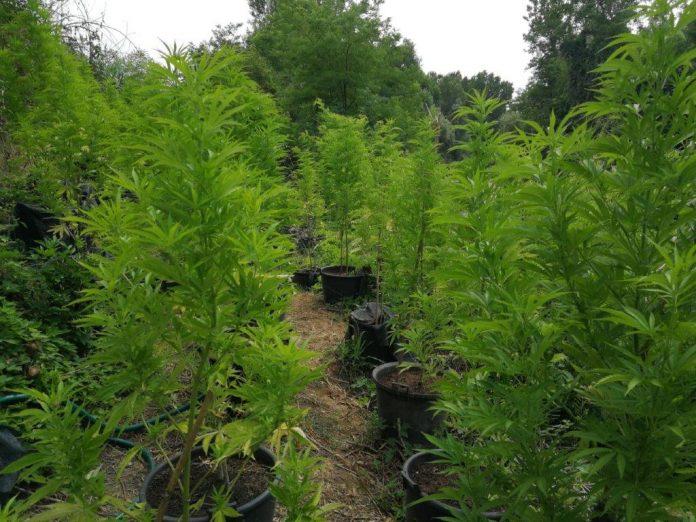 Guardia di Finanza di Siena scopre una vasta piantagione di marijuana