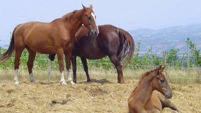 Siena: quantificati i contributi per ogni giornata di presenza dei cavalli da Palio ai lavori di addestramento