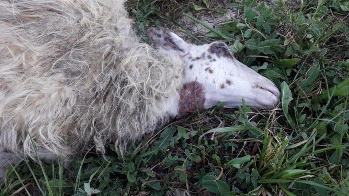 Assalto dei lupi a Radi, sbranate tre pecore in pieno giorno