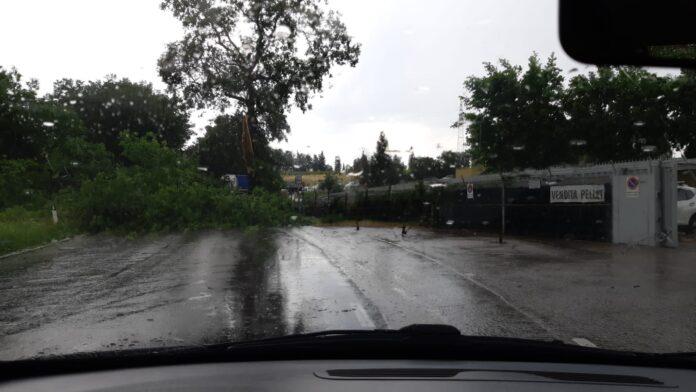Strada di Renaccio, crolla un albero