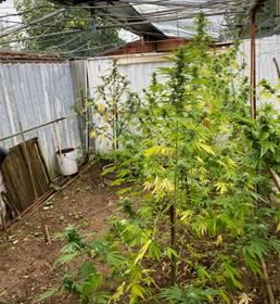 Coltiva serra di marijuana in casa: 48enne arrestato dai carabinieri di Sinalunga